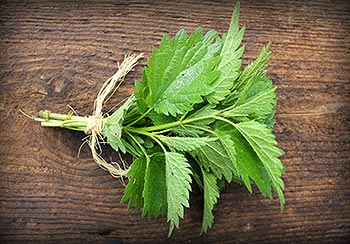 Sprig of fresh nettle leaf